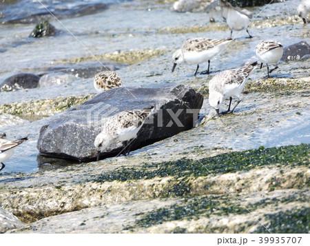 検見川浜の海岸で採餌するミユビシギ 39935707
