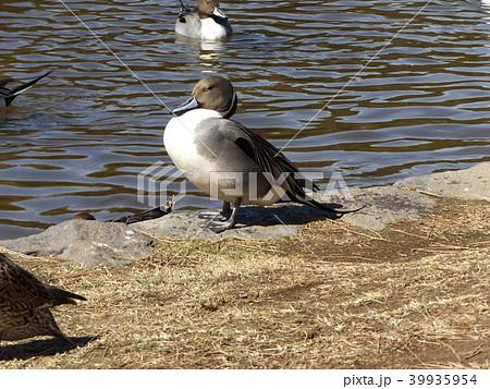 稲毛海浜公園に来た冬の渡り鳥オナガガモ 39935954