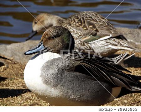 稲毛海浜公園に来た冬の渡り鳥オナガガモ 39935955