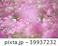 コスモス 秋桜 花の写真 39937232