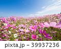 コスモス 秋桜 花の写真 39937236