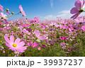 コスモス 秋桜 花の写真 39937237