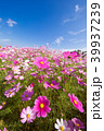 コスモス 秋桜 花の写真 39937239