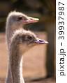 くちばし クチバシ 嘴の写真 39937987