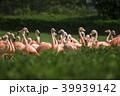 フラミンゴ 鳥 鳥類の写真 39939142