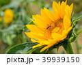 桃園 向陽農場 向日葵 sunflower ヒマワリ 39939150