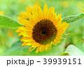 桃園 向陽農場 向日葵 sunflower ヒマワリ 39939151