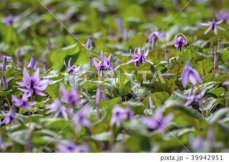 早春に咲くカタクリの花 39942951