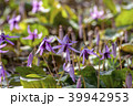 カタクリ 花 山野草の写真 39942953