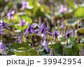 カタクリ 花 山野草の写真 39942954