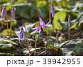 カタクリ 花 山野草の写真 39942955