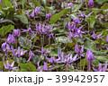 カタクリ 花 山野草の写真 39942957