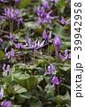 カタクリ 花 山野草の写真 39942958
