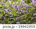 カタクリ 花 山野草の写真 39942959