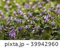 カタクリ 花 山野草の写真 39942960