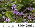 カタクリ 花 山野草の写真 39942961
