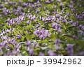 カタクリ 花 山野草の写真 39942962