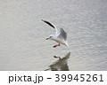 ユリカモメ (百合鴎) その24。 Black headed gull 39945261