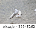 ユリカモメ (百合鴎) その25。 Black headed gull 39945262