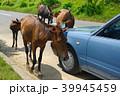都井岬 御崎馬 馬の写真 39945459