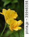 フリージア アヤメ科 植物の写真 39946598