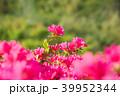 ツツジ 花 ピンクの写真 39952344