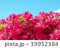 ツツジ 花 ピンクの写真 39952384