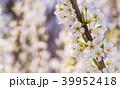 梅 花 梅の花の写真 39952418