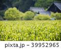 茶の新芽と農家 39952965
