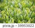 朝の茶畑 39953022