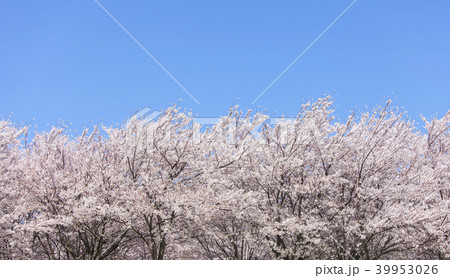 桜の木 39953026