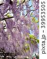 藤 花 植物の写真 39953505