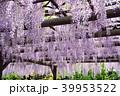 藤 花 植物の写真 39953522