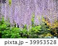 藤 花 植物の写真 39953528
