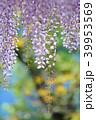 藤 花 植物の写真 39953569