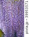 藤 花 植物の写真 39953571