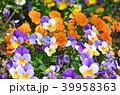 花 ビオラ 花壇の写真 39958363