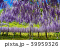 藤の花 和気神社 花の写真 39959326