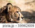 動物 チーター 横顔の写真 39962609