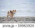 柴犬 犬 砂浜の写真 39963920