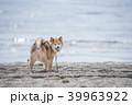 柴犬 犬 砂浜の写真 39963922