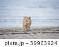 柴犬 犬 砂浜の写真 39963924