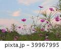 秋桜 39967995