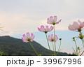 秋桜 39967996
