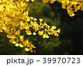 秋 黄葉 イチョウの写真 39970723