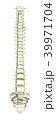 脊柱 椎骨 骨のイラスト 39971704