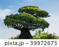 盆栽 植物 樹木の写真 39972675