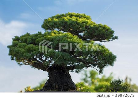 松 盆栽 39972675