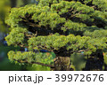 盆栽 植物 樹木の写真 39972676