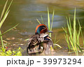 コガモ 水鳥 野鳥の写真 39973294